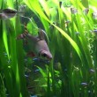 The fishes among the seaweed in aquarium — Stock Video #61991531