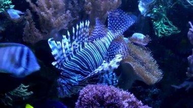 Lionfish tropik deniz — Stok video