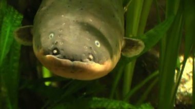 Electric eel in the water — Stock Video