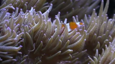 Clown Fish in the anemone tentacles in an aquarium — Stock Video