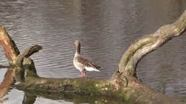 Cackling goose on a pond — Stock Video