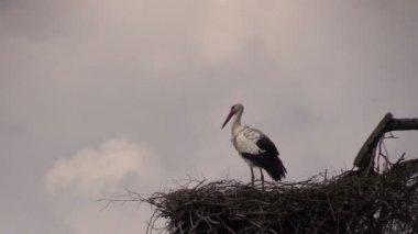 Stork in nest against  sky — Stock Video