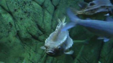 Lumpfish in Aquarium — Stok video