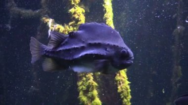 Lumpfish in Aquarium — Stock Video