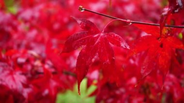 Red autumn maple leaves in rain — Stock Video