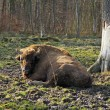 Aurochs in a forest of zoo  — Stock Photo #68851701