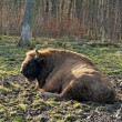 Aurochs in a forest of zoo  — Stock Photo #68851741