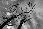 Flight of the Falcon over  dry tree — Zdjęcie stockowe
