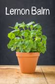 Lemon balm in a clay pot on a dark background — Stock Photo