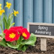 Daffodils and primroses with the Label Spring Awakening — Stock Photo #68174999