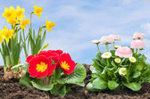 Flower Bed with daffolis, primroses and daisies — Stock Photo