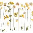 Pressed wild flowers isolated on white background — Stock Photo #56045721