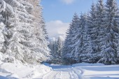 White firs in winter — Stock Photo