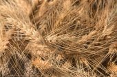 Golden wheat harvested — Stock Photo