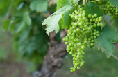 Green grapes in the vineyard — Stock Photo