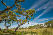 Pastures in Extremadura, Spain. Many oak trees and blue sky — Stock Photo