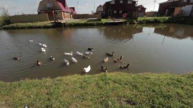 Domestic waterfowl — Stock Video