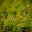 Fir tree branches — Stock Photo #68409337
