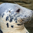 Close-up view of a Grey seal — Stock Photo #52468135
