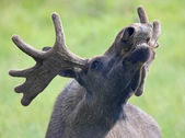 Portrait of a roaring Moose bull 02 — 图库照片
