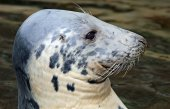Close-up view of a Grey seal — Stock Photo