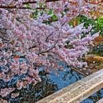 Постер, плакат: Sakura blossom
