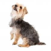 Happy Yorkshire Terrier Looking Up — Stock Photo