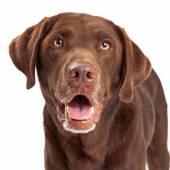 Chocolate Labrador Retriever Dog Head Shot — Stock Photo