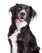 Border Collie Mix Breed Dog — Stock Photo