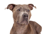 Curious American Staffordshire Terrier Dog — Stock Photo