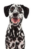 Happy Dalmatian Dog Smiling — Stock Photo