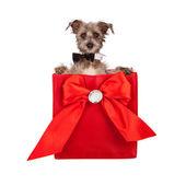 Valentines Day Dog Present — Stock Photo