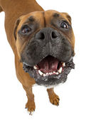 Funny Boxer With Big Head — Stock Photo