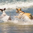 Two Dogs Running Into Ocean — Stock Photo #64719175