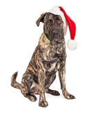 Large Santa Claus Dog — Foto Stock