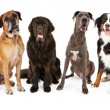 Giant Breed Dogs Group — Stock Photo #67012269