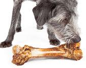 Dog Eating Big Bone — Stock Photo