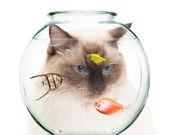 Cat behind a bowl of pet fish — Stock Photo