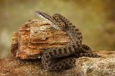 Twin-Spotted Rattlesnake on Desert Rocks — Stock Photo