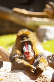 Mandrill Baboon Resting Looking Forward — Stock Photo