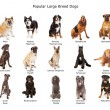Collection of Popular Large Breed Dogs — Stock Photo #75779573