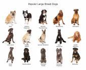 Kolekce populární velké plemeno psů — Stock fotografie