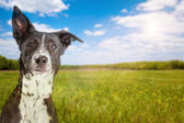Mixed breed dog with field — Stock Photo
