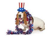 Американская Отечественной бассет собака — Стоковое фото
