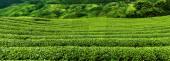 Panorama tea plantation with cloud and blue sky — Stock Photo