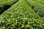新鲜茶叶种植园čerstvé čajové plantáže — ストック写真