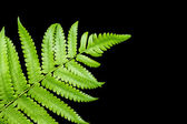Fern leaf isolated on black background — Stock fotografie