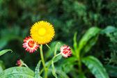 Bracted Strawflower,Paper Daisy,Everlasting Daisy — Stock Photo