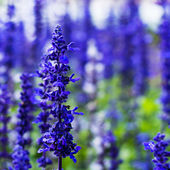 Delphinium,Candle Delphinium,many beautiful purple and blue flow — Stock Photo