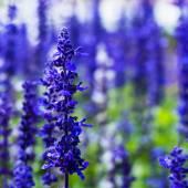Delphinium,Candle Delphinium,many beautiful purple and blue flow — Stock Photo